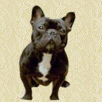 animiertes-franzoesische-bulldogge-bild-0003