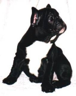 animiertes-franzoesische-bulldogge-bild-0022