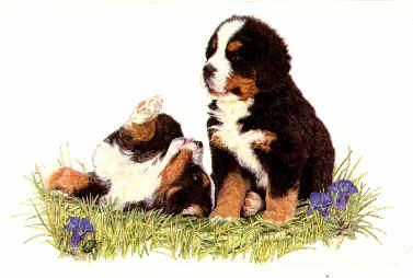 animiertes-berner-sennenhund-bild-0078